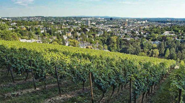 A vineyard in Wiesbaden